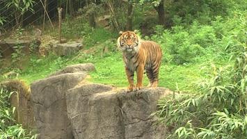Burgers' Zoo Natuurlijk De Sumatraanse tijger (2)