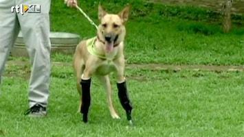 Editie NL Gruwelijk verminkte hond kan weer lopen