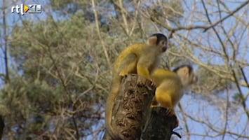 RTL Nieuws Ook lente voor aapjes in Apenheul