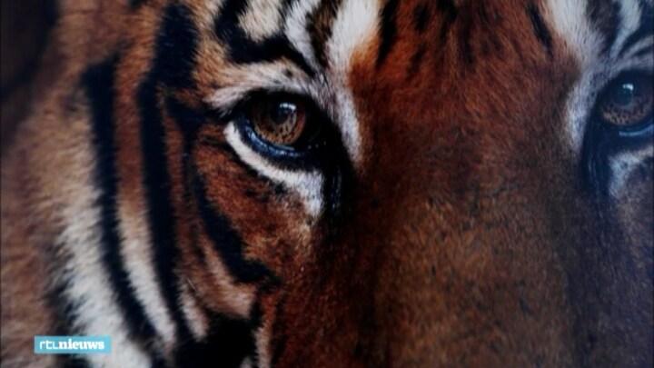 Aantal wilde tijgers in Nepal bijna verdubbeld