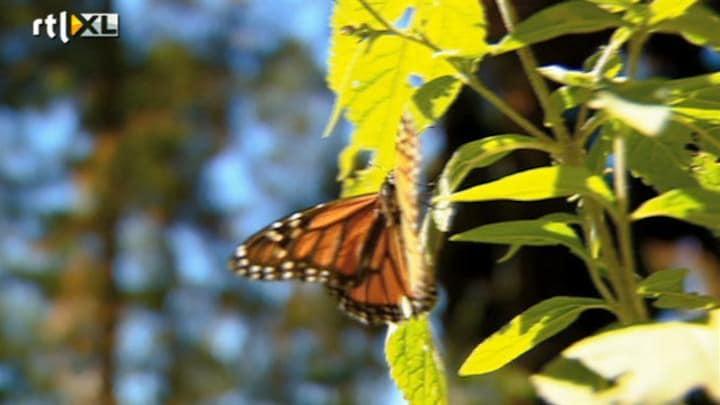 Afbeelding bij RTL Nieuws: Wonderlijk schouwspel: vlindertrek (fragment)
