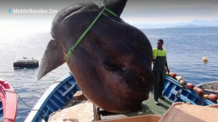 Wat een joekel: reusachtige maanvis gevangen bij Spaanse kust